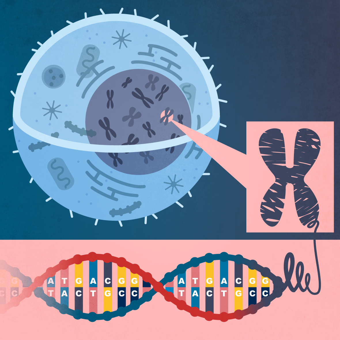 Vivio :: Cellule et ADN
