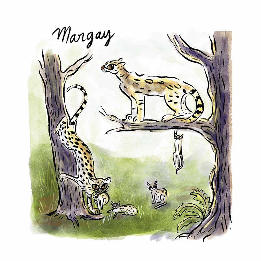 Margay.jpg